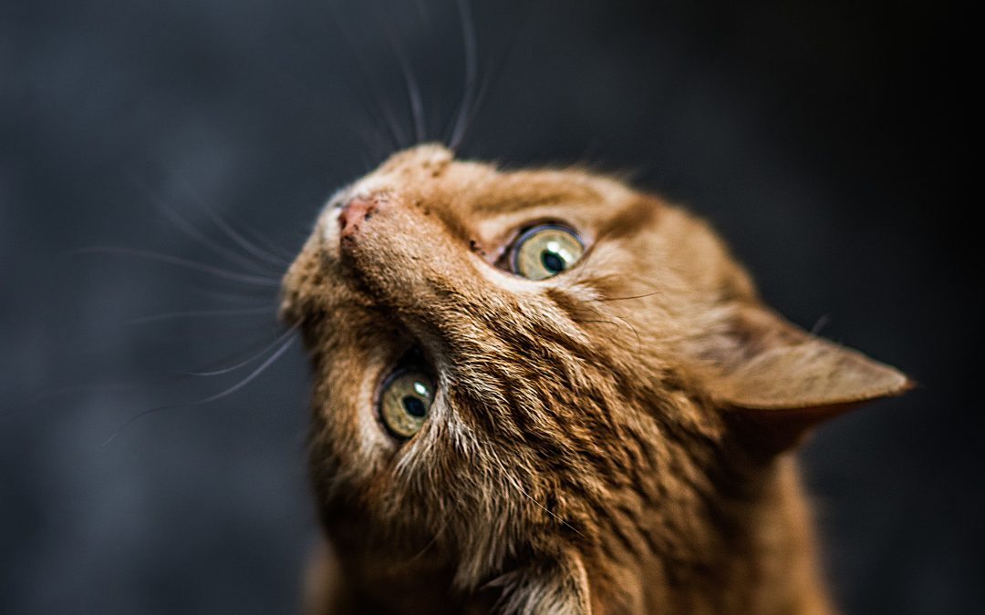 What's the Best Shampoo for Your Bengal Cat?